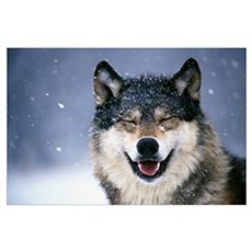 Wolf Portrait in Winter Poster