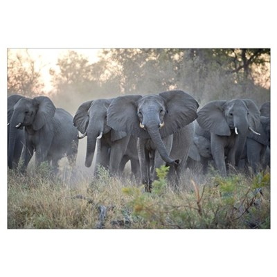 African Elephant (Loxodonta africana) herd gatheri Canvas Art