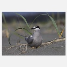Aleutian Tern (Sterna aleutica) on ground nest wit