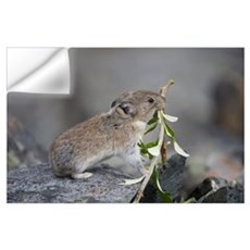 American Pika (Ochotona princeps) carrying vegetat Wall Decal