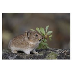 American Pika (Ochotona princeps) carrying vegetat Framed Print