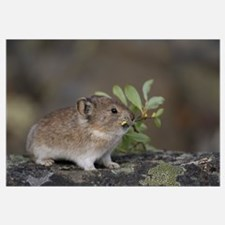 American Pika (Ochotona princeps) carrying vegetat