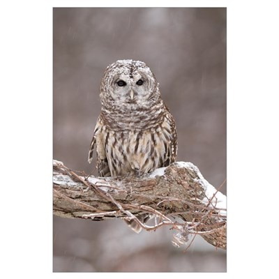 Barred Owl (Strix varia) in winter, Howell Nature Poster