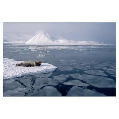 Bearded Seal (Erignathus barbatus) on ice floe, No Poster