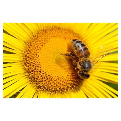Bee (Apidae) on Alpine Sunflower (Rydbergia grandi Poster