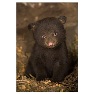 Black Bear (Ursus americanus) 7 week old cub (brow Framed Print
