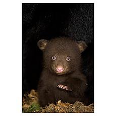 Black Bear (Ursus americanus) 7 week old cub (brow Poster