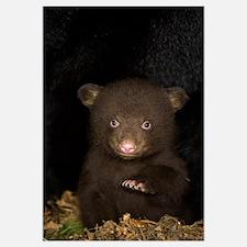 Black Bear (Ursus americanus) 7 week old cub (brow