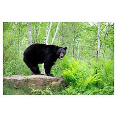 Black Bear (Ursus americanus) adult, standing on r Poster