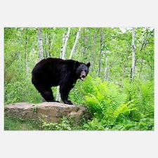Black Bear (Ursus americanus) adult, standing on r