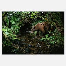Black Bear (Ursus americanus) at night, Bonneville