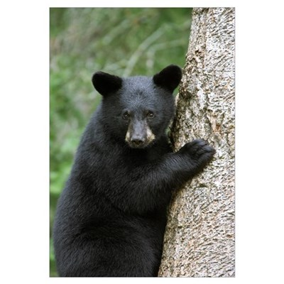 Black Bear (Ursus americanus) cub in tree safe fro Framed Print