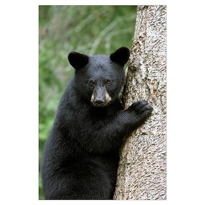 Black Bear (Ursus americanus) cub in tree safe fro Poster