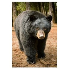Black Bear (Ursus americanus) portrait during a mi Canvas Art