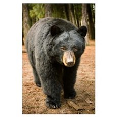 Black Bear (Ursus americanus) portrait during a mi Poster
