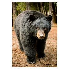 Black Bear (Ursus americanus) portrait during a mi