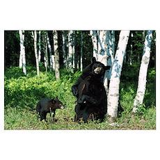 Black Bear (Ursus americanus) sow scratching on Bi Poster