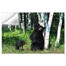 Black Bear (Ursus americanus) sow scratching on Bi Wall Decal