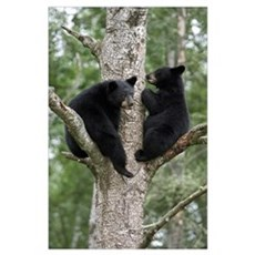 Black Bear (Ursus americanus) two cubs in tree, Or Poster