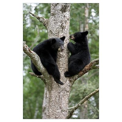 Black Bear (Ursus americanus) two cubs in tree, Or Poster