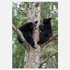 Black Bear (Ursus americanus) two cubs in tree, Or