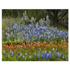 Bluebonnet, Paintbrush and Pricky Pear cactus, Tex Poster