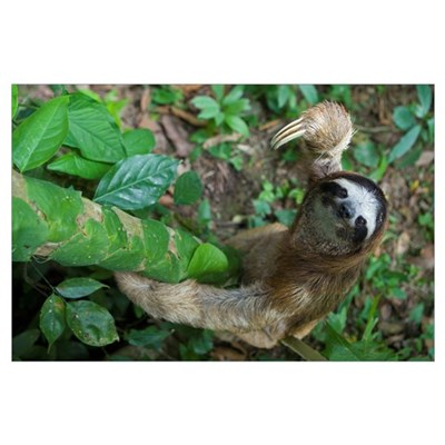 Brown-throated Three-toed Sloth (Bradypus variegat Poster