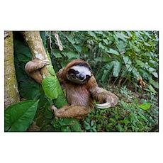 Brown-throated Three-toed Sloth (Bradypus variegat Poster