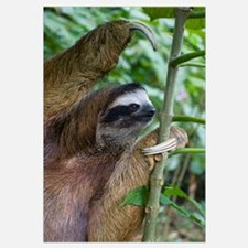 Brown-throated Three-toed Sloth (Bradypus variegat