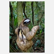 Brown-throated Three-toed Sloth (Bradypus variegat
