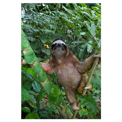Brown-throated Three-toed Sloth (Bradypus variegat Canvas Art