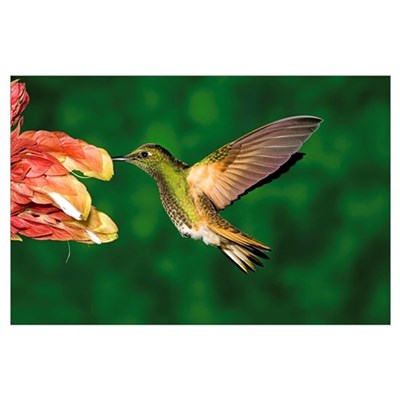 Buff-tailed Coronet (Boissonneaua flavescens) feed Poster