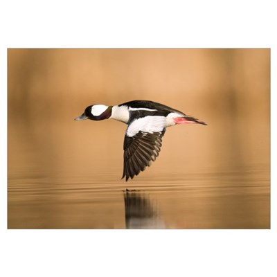 Bufflehead (Bucephala albeola) male flying, Island Poster
