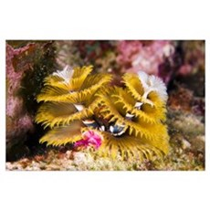 Christmas Tree Worm on Great Star Coral Bonaire, N Poster