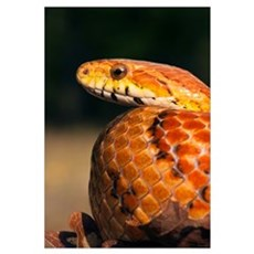 Cornsnake (Elaphe guttata), native to southeastern Framed Print