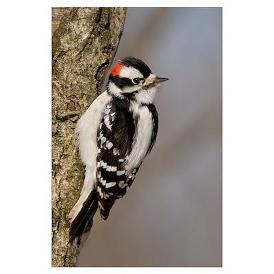 Downy Woodpecker (Picoides pubescens) male, Kensin Poster