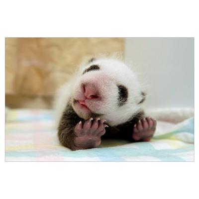 Giant Panda (Ailuropoda melanoleuca) baby at Wolon Poster