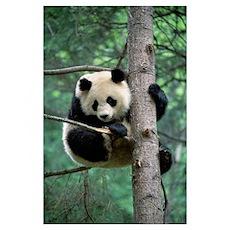 Giant Panda (Ailuropoda melanoleuca) in tree Poster