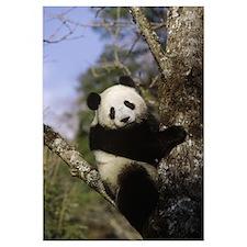 Giant Panda (Ailuropoda melanoleuca) in tree, Wolo