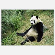 Giant Panda (Ailuropoda melanoleuca) sitting on gr
