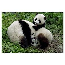 Giant Panda (Ailuropoda melanoleuca) three young P Poster
