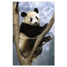 Giant Panda (Ailuropoda melanoleuca) Wolong Valley Poster
