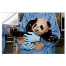 Giant Panda (Ailuropoda melanoleuca) young held by Wall Decal