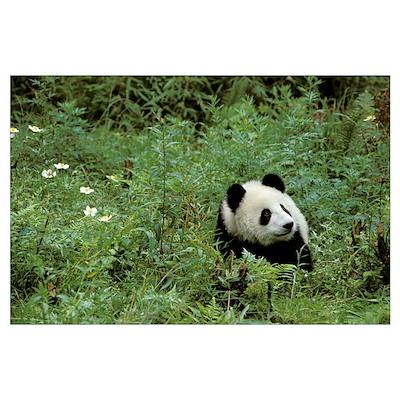 Giant Panda (Ailuropoda melanoleuca), Wolong Valle Poster