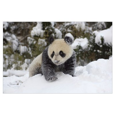 Giant Panda cub playing in the snow, Wolong Nature Poster