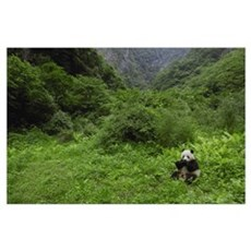 Giant Panda eating bamboo, Wolong Reserve, Sichuan Poster