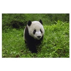 Giant Panda standing in vegetation, Wolong Reserve Poster