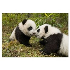 Giant Panda two cubs touching noses, Wolong Nature Framed Print
