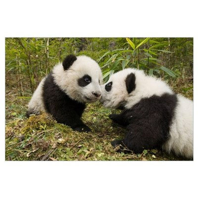 Giant Panda two cubs touching noses, Wolong Nature Poster