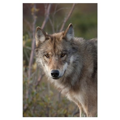 Gray Wolf (Canis lupus) portrait, Alaska Poster